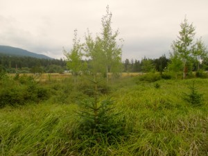 Fourth Year Wetland Mitigation Site Monitoring, Orcas Island, WA.
