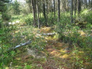 Bog wetland community, with a Sphagnum moss ground cover, Lopez Island, WA.