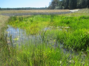 Briggs Dam Wetland Mitigation Project, First growing season, San Juan Island, WA.