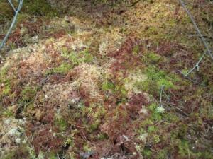 Sphagnum mosses
