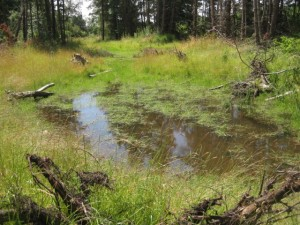 Wetland Mitigation Site, mid summer, Lopez Island, WA